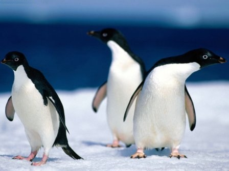 animales pinguinos