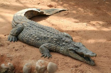 Huge_Crocodile_in_Zoo_600