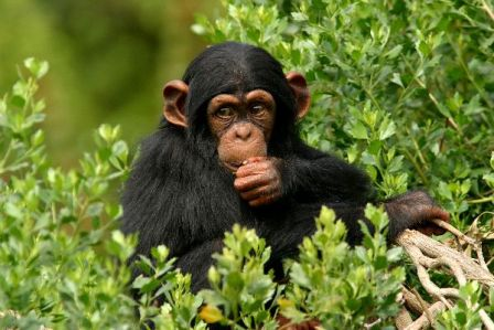 Young_Chimp_Eating_600