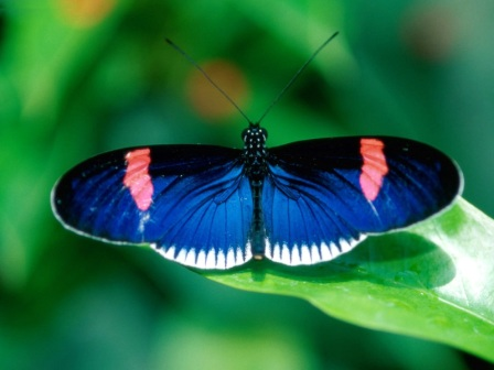 Animals Butterflies_Heliconius Erato