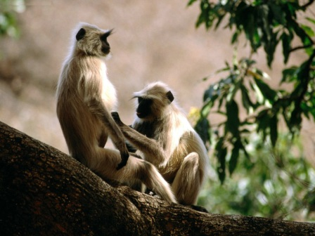 Langur Monkeys, India